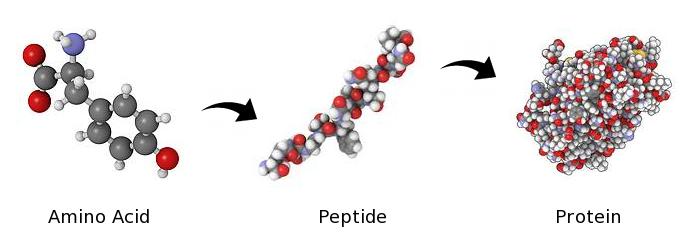 Peptides Bodybuilding
